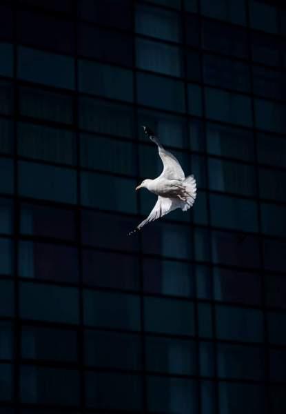 Garavogue Seagull